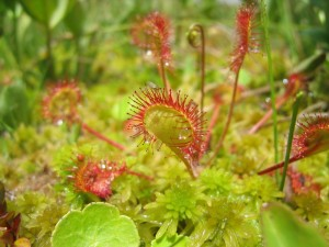 Drosera_rotundifolia1-300x225